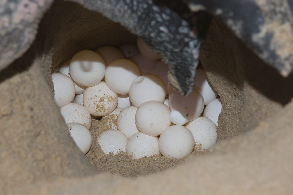 sea-turtle-eggs